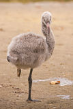 Greater flamingo fledgling / Phoenicopterus roseus Stock Photography