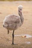 Greater flamingo fledgling / Phoenicopterus roseus Stock Photography