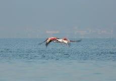 Greater Flamingo in flight Stock Image