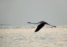 Greater Flamingo in flight Stock Photos