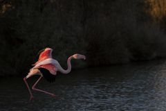 A greater flamingo in flight. In the Camargue in southern France stock images