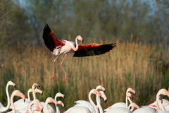 Greater Flamingo in flight Royalty Free Stock Image