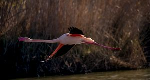 A greater flamingo in flight. / taking off/ flying above water surface royalty free stock photo