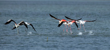 Greater Flamingo flying Stock Photo