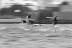 Greater Flamingo flying Royalty Free Stock Photos