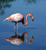Greater Flamingo - Galapagos Islands. Greater Flamingo (Phoenicopterus ruber) on the island of Floreana in Galapagos Islands stock image