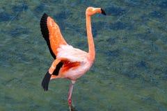 Greater Flamingo, Galapagos islands, Ecuador Stock Photos