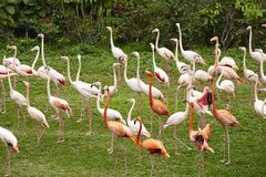 Greater flamingo on grassland royalty free stock images