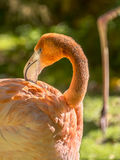 Greater Flamingo grooming  (Phoenicopterus ruber) Royalty Free Stock Image