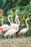 Greater flamingo group Stock Photo