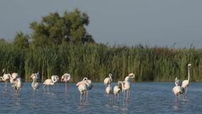 Greater flamingo stock video footage