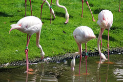 Greater flamingo group Stock Images