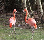 Greater flamingo Stock Photography