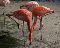 Greater flamingo group Stock Photos