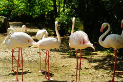 Greater flamingo group. The group of greater flamingo staying under the sun shines in the park Stock Photography