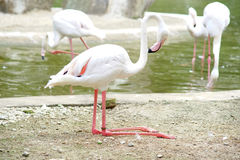 Greater flamingo. Has bending her legs on the land Royalty Free Stock Photography