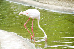 Greater flamingo. Has finding her meals in the water Royalty Free Stock Photography