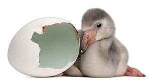 Greater Flamingo with hatched egg, Phoenicopterus roseus, 4 days old. In frong of white background stock photos