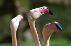 Greater Flamingo head. Closeup on Greater Flamingo head Phoenicopterus ruber roseus Stock Images