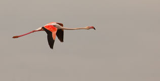 Greater Flamingo In Flight Stock Photo
