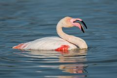A greater flamingo with its beak open. Resting in the water of the lagoon stock images