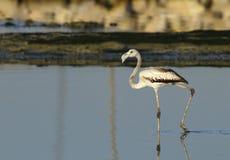 Greater Flamingo Juvenile Stock Photography