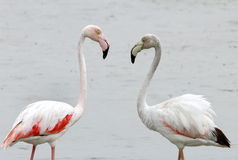 Greater Flamingo Juvenile Royalty Free Stock Photography