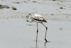 Greater Flamingo Juvenile Royalty Free Stock Photo