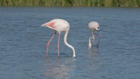Greater flamingo stock video