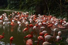 Greater flamingo in lake royalty free stock image