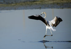 Greater Flamingo landing at Eker, Bahrain Stock Photos