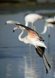 Greater Flamingo Landing at Eker coast Stock Images