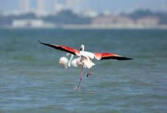 Greater Flamingo landing Stock Photography