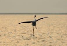 Greater Flamingo landing during sunrise Stock Image