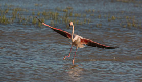 Greater Flamingo landing on water Stock Photos