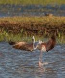 Greater Flamingo landing on water Royalty Free Stock Photos
