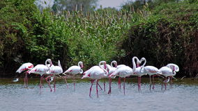 Greater flamingo royalty free stock images