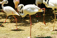 Greater flamingo. Lift up one of her leg under the sun shines Royalty Free Stock Photo