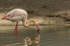 Greater flamingo looking for food Royalty Free Stock Images