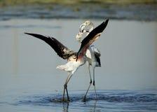 Greater Flamingo loving Stock Photo