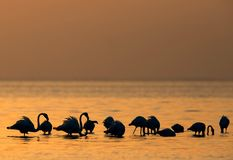 Greater Flamingo and the morning sun Stock Images