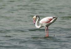 Greater Flamingo, natures call Stock Photos
