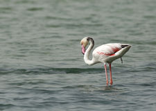 Greater Flamingo, natures call Stock Photography