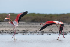 Greater flamingo pair in Rhône River delta Royalty Free Stock Image