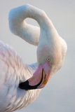 Greater Flamingo, Phoenicopterus  portait Royalty Free Stock Images