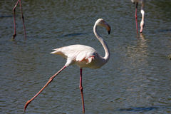 Greater Flamingo (Phoenicopterus roseus) Royalty Free Stock Photo