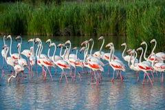 Greater Flamingo (Phoenicopterus roseus). Flock of greater flamingoes (Phoenicopterus roseus) in Camargue, France Stock Photography