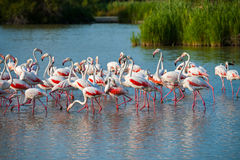 Greater Flamingo (Phoenicopterus roseus). Flock of greater flamingoes (Phoenicopterus roseus) in Camargue, France Royalty Free Stock Images