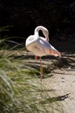 Greater flamingo (Phoenicopterus roseus). In the Auckland Zoo Royalty Free Stock Images