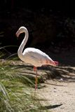 Greater flamingo (Phoenicopterus roseus). In the Auckland Zoo Stock Images